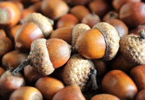 Can we eat acorns?